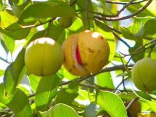 Jarang sekali orang memperhatikan dengan manfaat dan khasiat dari buah dan biji pala Mengenal Tanaman Pala dan Manfaatnya