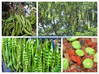 makanan berjenis sayuran ini sangat khas dengan aromanya yang super keren 7 Manfaat Petai bagi Kesehatan