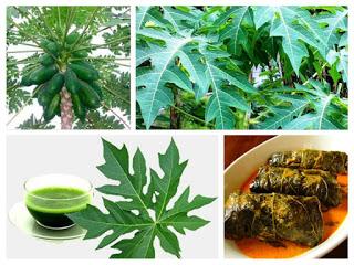 Sebagaimana diketahui pepaya merupakan tanaman dengan seribu khasiat yang dapat dimanfaat Aneka Manfaat Daun Pepaya