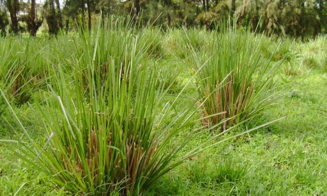 Akar wangi ialah tumbuhan yang mempunyai nama latin Vetiveria zizanioides yang merupakan Mengenal Akar Wangi serta Manfaatnya
