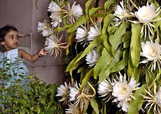 Manfaat Lengkap Bunga Wijayakusuma untuk Kesehatan Manfaat Lengkap Bunga Wijayakusuma untuk Kesehatan