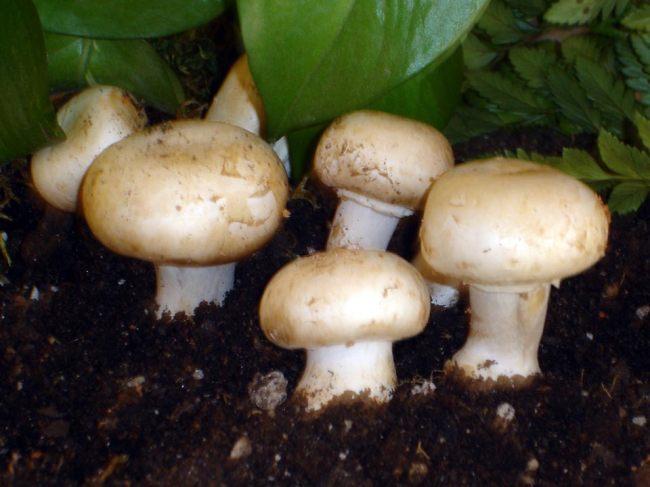 Jamur kompos atau yang lebih dikenal dengan jamur kancing merupakan jamur konsumsi yang b Mengenal Jamur Kancing dan Khasiatnya