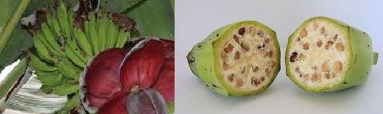 mempunyai puluhan jenis varietas dan semua jenisnya sangat terkenal menyerupai pisang ambon Manfaat dan Khasiat Pisang Batu