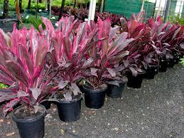 Andong itu bila di Jawa Barat dikenal dengan nama tanaman hanjuang Khasiat Andong untuk Pengobatan