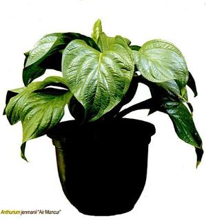 Anthurium dikenal sebagai raja daun tanaman hias alasannya yakni keelokan daunnya yang cantik dan p Ragam Pesona Anthurium Terbaik