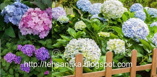 Kembang bokor mempunyai nama botani Hydrangea macrophylla Thunb Seringe atau Viburnum mac Mengenal Kembang Bokor dan Manfaatnya