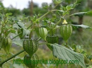 termasuk suku solanaceae atau suku terung Manfaat Khasiat Ciplukan Atasi Penyakit