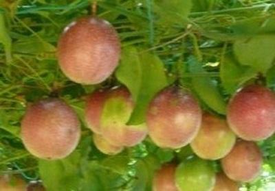 Buah markisa memiliki rasa yang khas ialah rasa yang asam sedikit manis 12 Manfaat Buah Markisa untuk Kesehatan