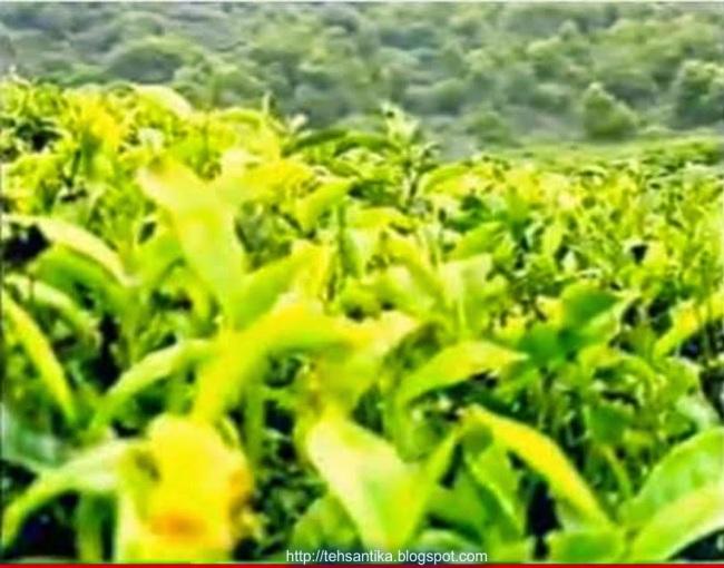termasuk tanaman yang tumbuh difaerah trofis dan subtrofis Manfaat dan Khasiat teh bagi kesehatan