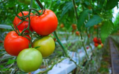 sangatlah mudah menjumpai buah dari tanaman ini Khasiat buah tomat