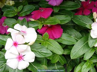 Tapak dara atau bahasa botaninya catharanthus roseus banyak dipelihara sebagai tanaman hi Khasiat Tapak Dara