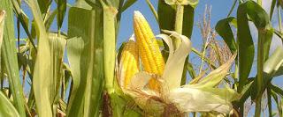 Jagung itu identik dengan makanan pokok beberapa negara Afrika dan beberapa kawasan di Ind Jagung makanan pokok berkhasiat