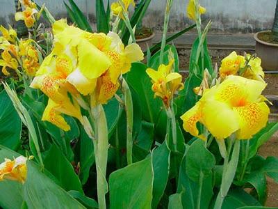 Khasiat Rimpang dan Bunga Tasbih untuk Kesehatan Mengenal Bunga Tasbih serta Khasiatnya